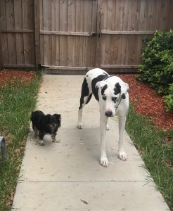 Dog Walking, Pet Sitting, St Pete, Dog Walker, cat Sitter, seminole, treasure island, st pete beach, feathersound, pinellas Park